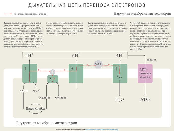 цепи переноса электронов?